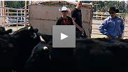 Fighters Mark Hominick and Stefan Struve dare to get face-to-face with bulls at the Calgary Stampede while Kelowna's Rory MacDonald looks on with doubt.